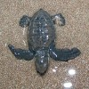 Sea Turtles Update for Manzanillo and Malpais Areas
