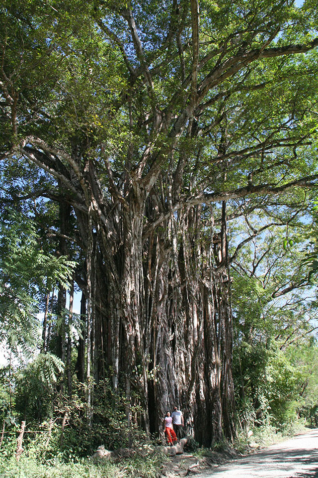 Giant Cabuya Banyan Tree (Higueron/Fig)