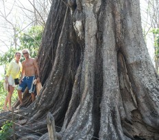Giant Pochote Tree